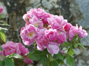 Postal: Flores rosas