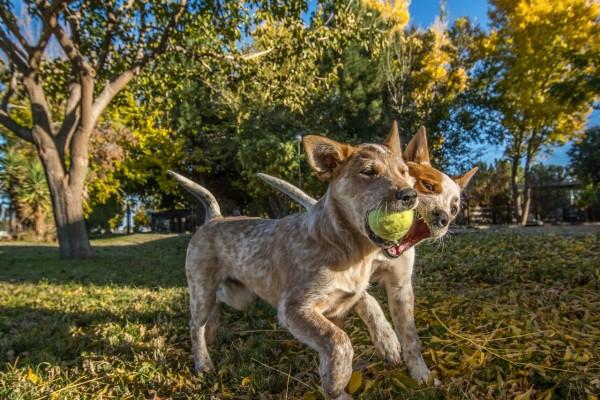 Perros jugando con una pelota de tenis