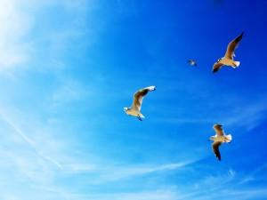Gaviotas volando en el cielo azul