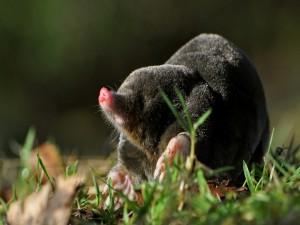 Topo sobre la hierba