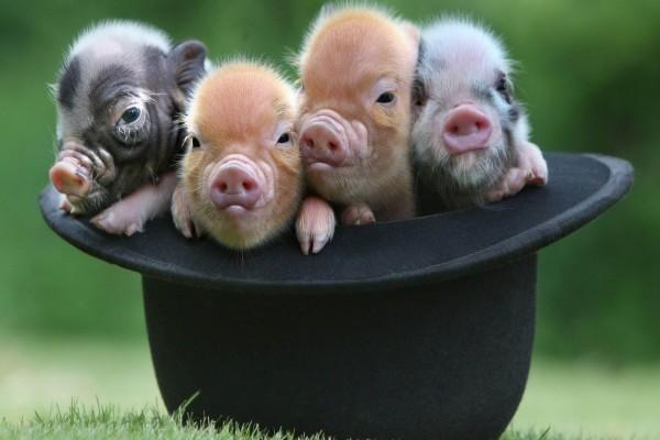 Cerditos en un sombrero