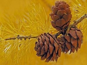 Postal: Conos de pino