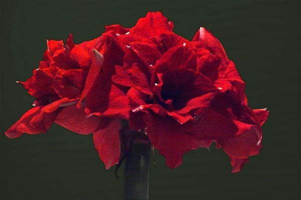 Amaryllis rojo