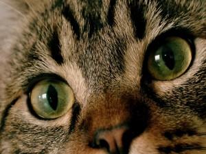 Los ojos y nariz de un gato