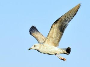 Postal: El vuelo de la gaviota