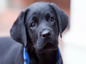 Tierna mirada de un cachorro negro