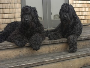 Postal: Dos terrier ruso negro, tumbados en las escaleras