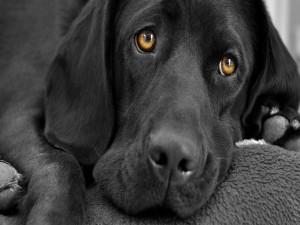 Postal: Ojos tristes de un perro labrador