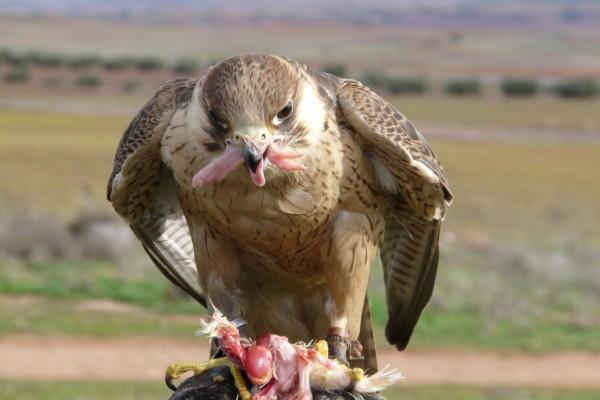 Halcón comiendo su presa