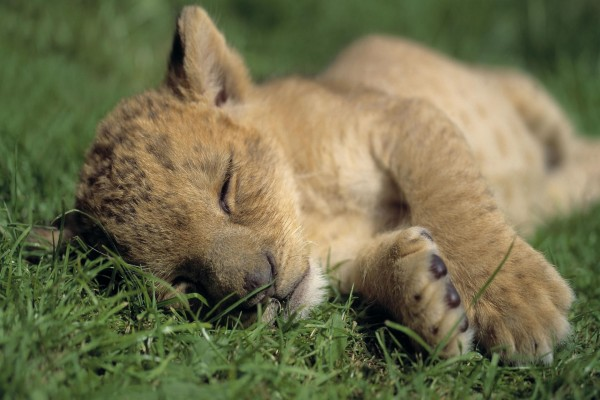 Cachorro de león dormido