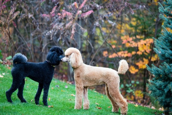Perros poodle, uno color blanco y otro negro