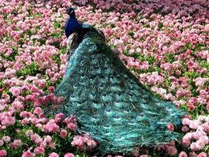 Postal: Pavo real ente flores rosas