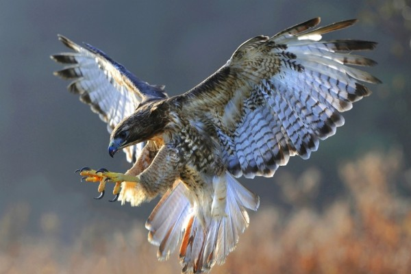 Un águila en pleno vuelo