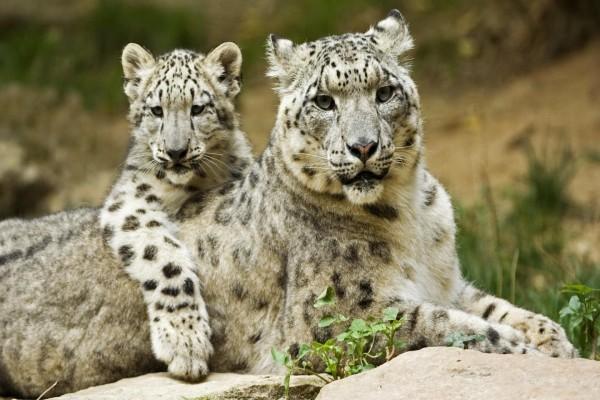 Leopardo de las nieves con su cría