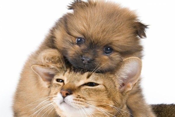 Perrito sobre la cabeza de un gato
