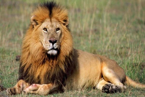 León descansando después de comer