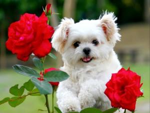 Perrito blanco en el rosal