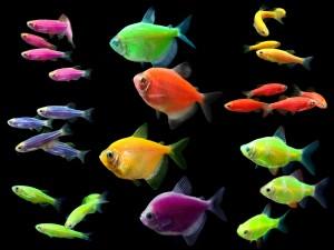 Peces fluorescentes