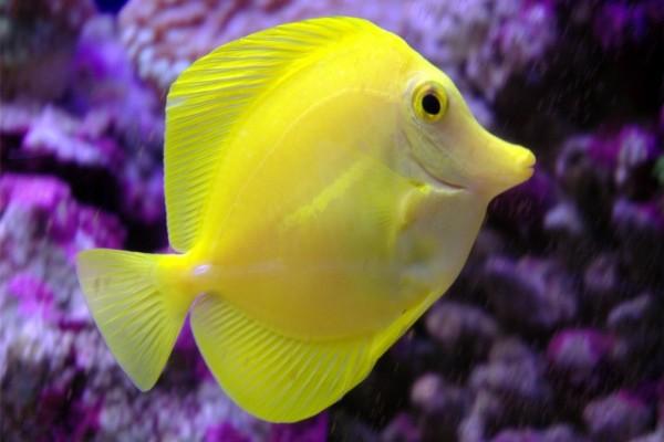 Bonito pez amarillo