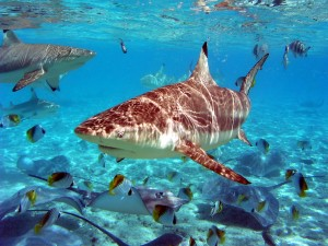 Postal: Tiburones, rayas y peces bajo el agua