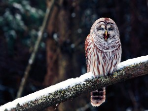Lechuza sobre la rama nevada