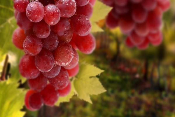 Uvas rojas maduras