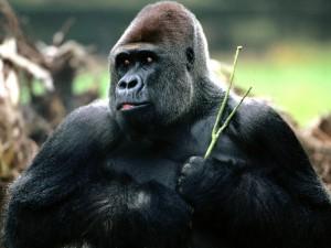 Un gorila con una rama verde