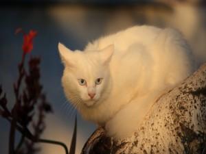 Postal: Un gran gato blanco