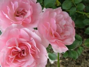 Postal: Rosal con rosas de color rosa