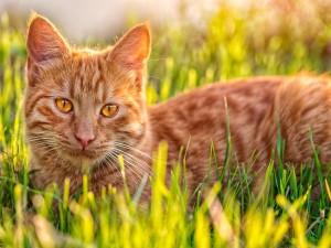 Postal: Un gato marrón en la hierba