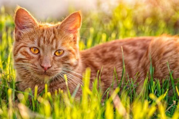 Un gato marrón en la hierba