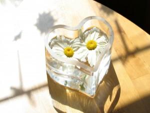 Dos margaritas, en un recipiente de vidrio con forma de corazón