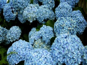 Hortensias de color azul