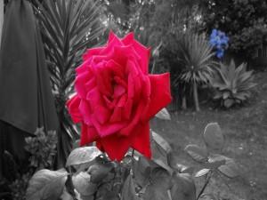 Postal: Rosa roja, en una imagen en blanco y negro