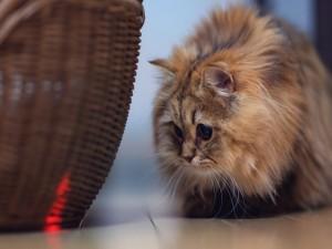 Postal: Gato mirando la luz roja