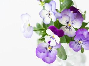 Pensamientos color lila y blanco