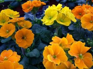 Primulas naranjas y amarillas