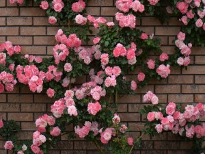 Rosas en la pared de ladrillos