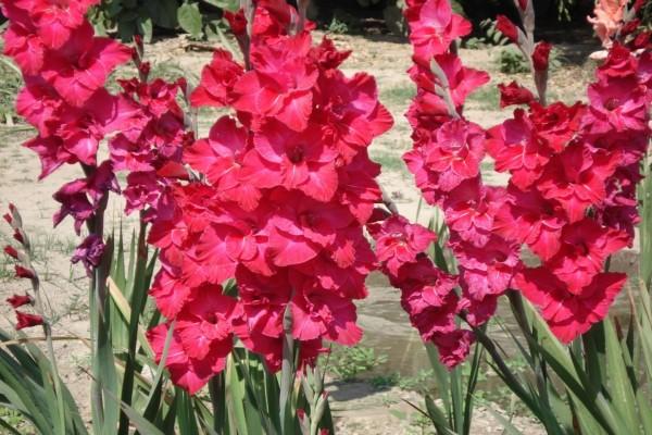 Hermosos gladiolos rosas
