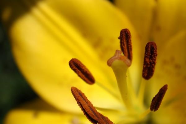 Pistilos de un lilium amarillo