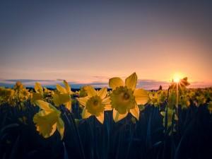 Campo de narcisos al amanecer