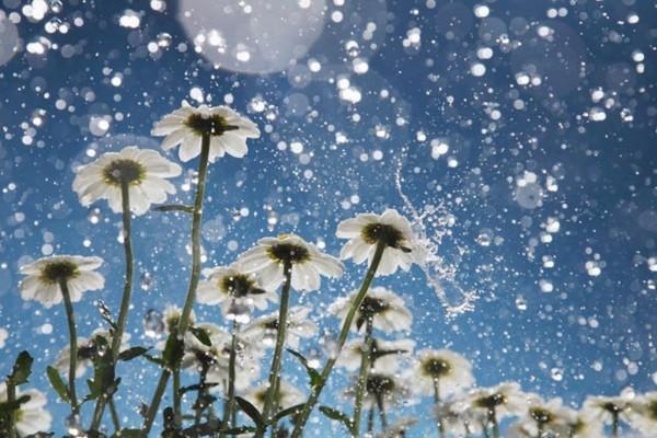 Llueve sobre un campo de margaritas