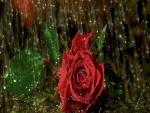 Rosa roja bajo la lluvia