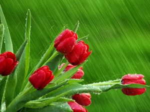 Lluvia sobre los tulipanes