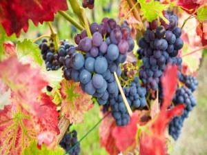 Postal: Varios racimos de uvas negras