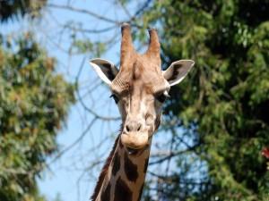 Postal: Una jirafa te mira