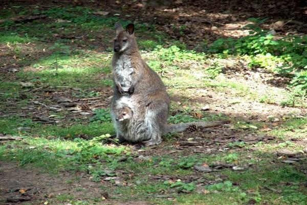 Canguro y su hijo