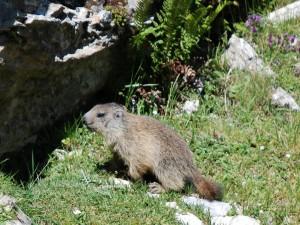 Una marmota buscando su nido