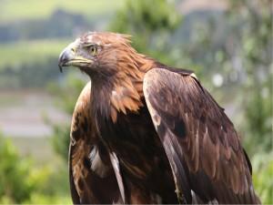 Postal: Un águila con plumaje marrón