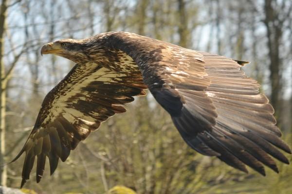 Águila con sus grandes alas desplegadas